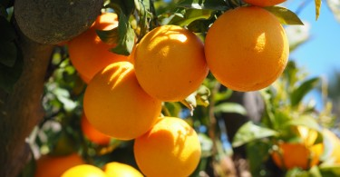 aquaponics fruits,aquaponics fruit trees