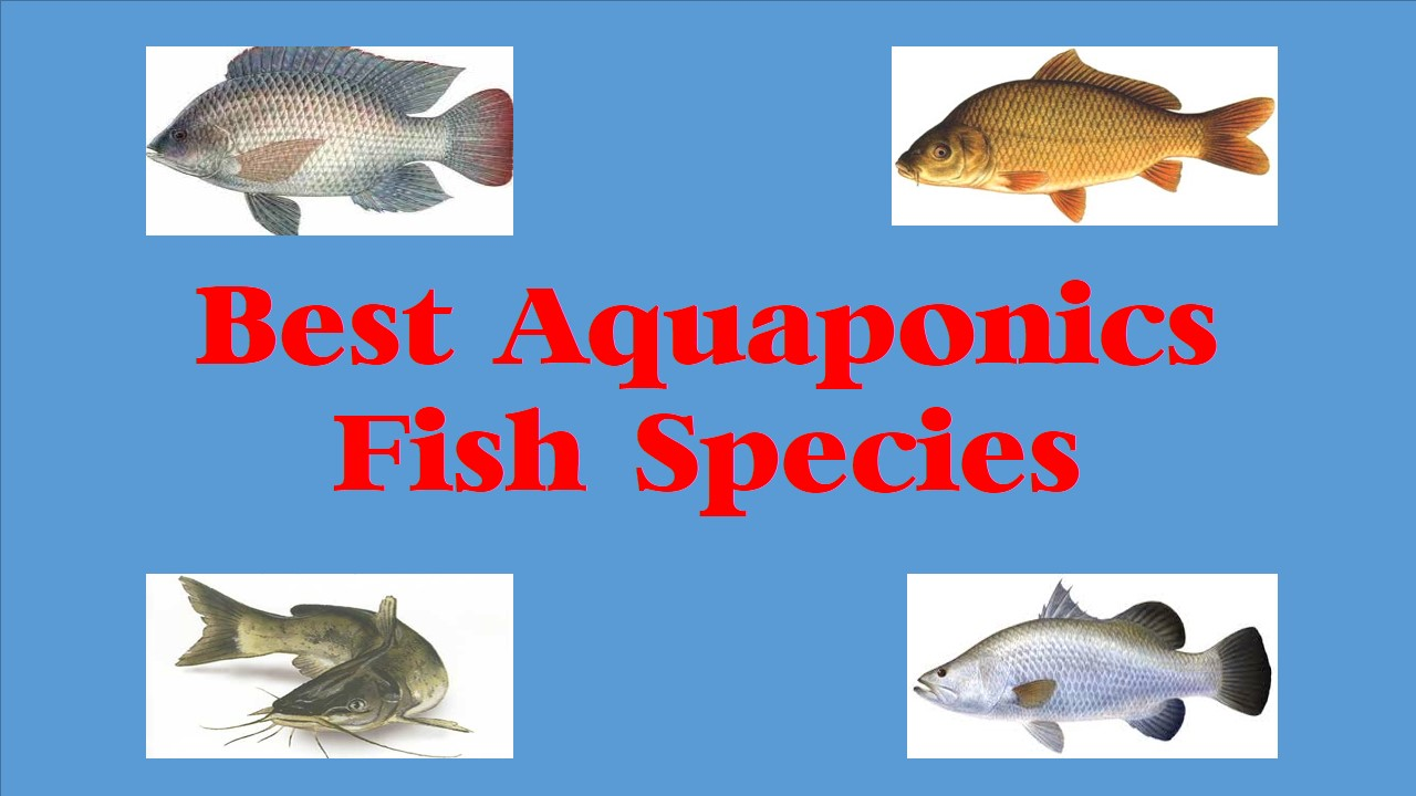 Top 10 best aquaponics fish species aquaponics definition for Fish used in aquaponics